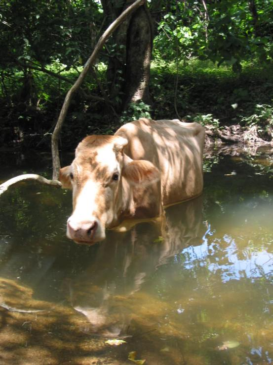 Cow in a Creek
